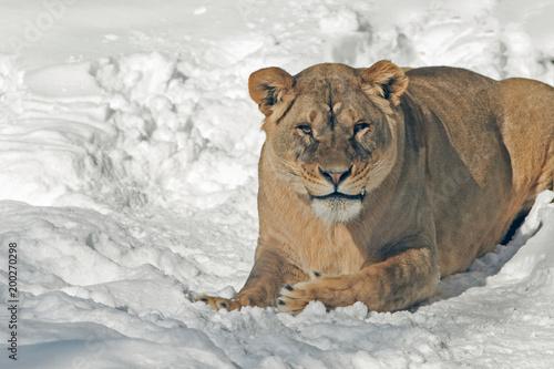 Plexiglas Lion a lion on a snowy background