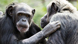 Two chimpanzees having a discussion
