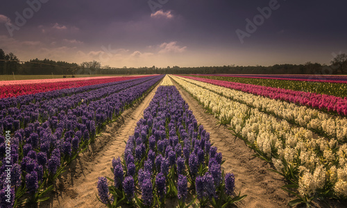 Foto op Canvas Lavendel flowers