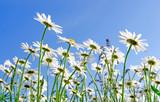 Frühlingserwachen: Meditation, Glück, Freude, Entspannung: Relaxen in Blumenwiese mit leuchtend schönen Margeriten unter blauem Himmel mit Sonne :) - 200289677
