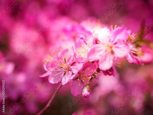 Foto Spatwand Roze Red plum flowers with blur background