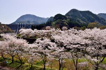 渓石園の桜