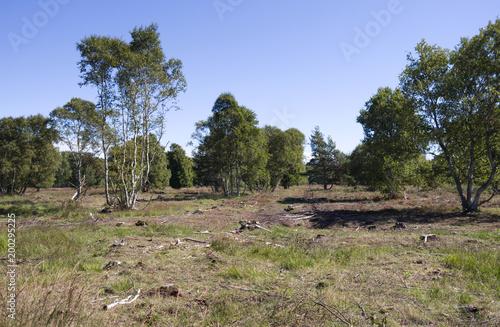 Laesoe / Dania: ścinanie brzóz w ramach zarządzania krajobrazem w rezerwacie przyrody Klitplantage