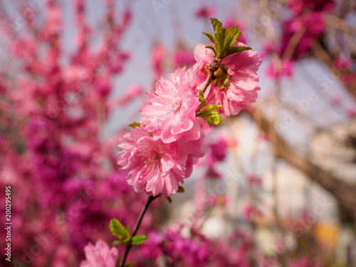 Plexiglas Crimson Pink plum tree flowers