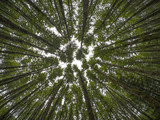 Looking up in a forest canopy of trees
