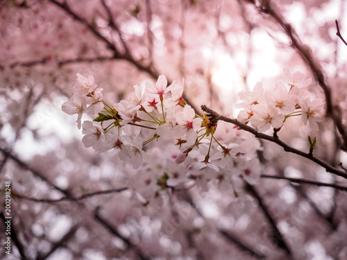 Foto op Plexiglas Lichtroze Beautiful cherry blossom sakura in spring