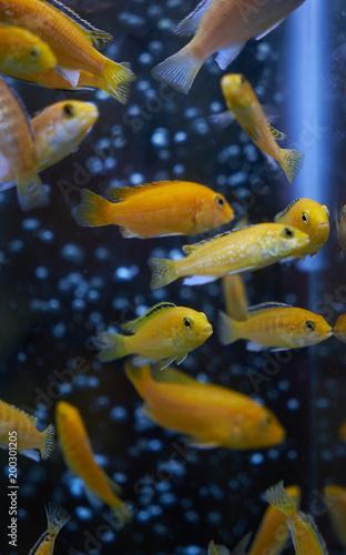 Foto Murales Tropical yellow fishes. Electric yellow cichlid Labidochromis caeruleus Malawi Aquarium Fish
