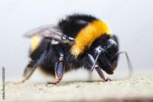 Plexiglas Bee Dizzy Bee