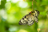Beautiful butterfly Paper Kite, Idea leuconoe in tropical forest - 200306285