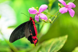 Beautiful butterfly Antrophaneura semperi in tropical forest - 200306449