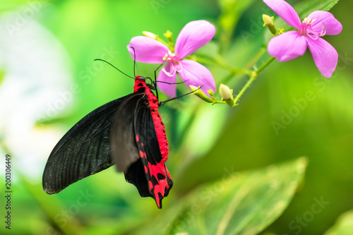 Foto Murales Beautiful butterfly Antrophaneura semperi in tropical forest