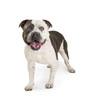 American Staffordshire Terrier Purebred Dog