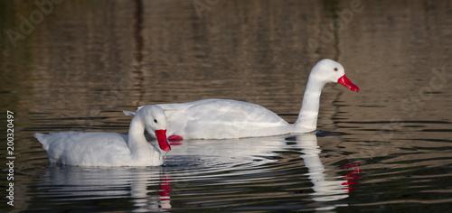 Coscoroba Swan - 200320497