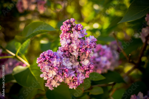 Blossoming lilac flowers. Hello spring.Branch of beautiful purple lilac flowers in the bush with green leaves.flowering garden, Selective focus