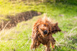 Leinwanddruck Bild - English Cocker Spaniel shaking off water after bathing in a pond, wet dogs, dogs playing, beautiful dogs. Beautiful background, green grass and sun rays