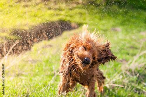 Leinwanddruck Bild English Cocker Spaniel shaking off water after bathing in a pond, wet dogs, dogs playing, beautiful dogs. Beautiful background, green grass and sun rays