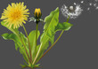 Common Dandelion (Taraxacum officinale) - Detailed Illustration of Plant Isolated on Gray Background, Vector