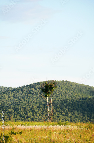 Poster Wit A lonely tree on a background of a mountain with a forest.