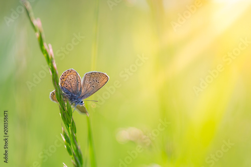 Keuken foto achterwand Zwavel geel Beautiful white butterfly and grass meadow in spring at Sunrise on yellow and orange background macro. Amazing elegant artistic image nature in spring, flower and butterfly
