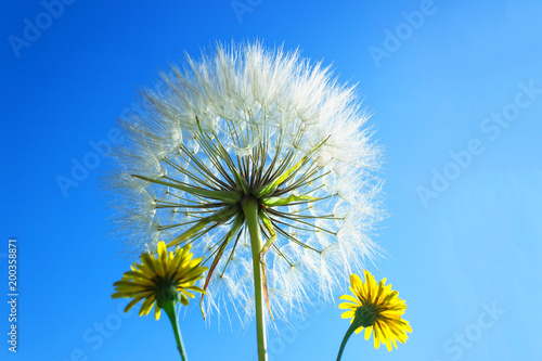 Delicate dandelion with seeds on background of bright blue sky. - 200358871