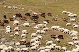 gregge di pecore in alta montagna - 200364889