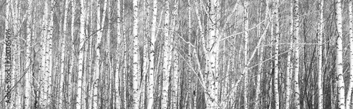 black-and-white photo of white birches in birch grove