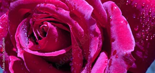 Pink rose closeup. - 200368464