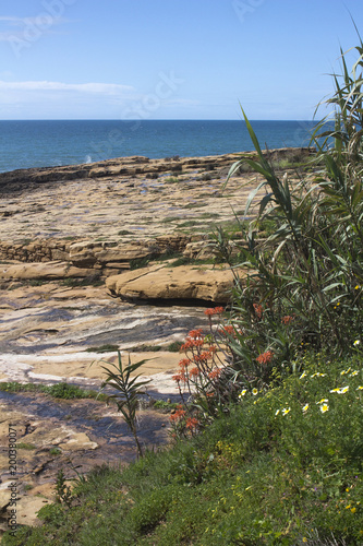 Aloe Vera flowers growing along the coast at Praia da Luz, Portugal