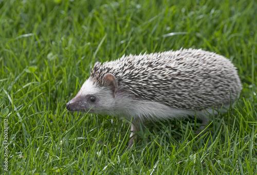 Four-toed Hedgehog (African pygmy hedgehog) - Atelerix albiventris in grass