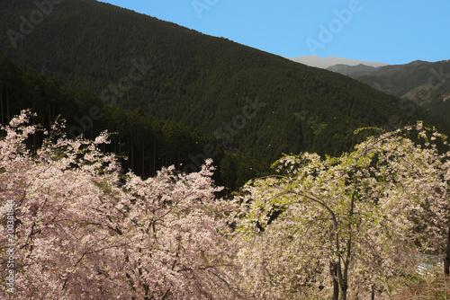 Poster Grijze traf. 桜咲く山里の春