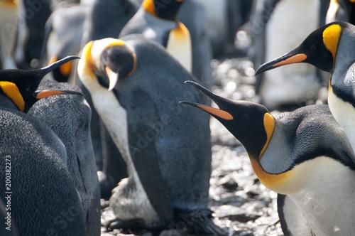 Plexiglas Antarctica King Penguins on Salisbury plains