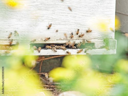 Plexiglas Bee Bees flying at hive entrance. close up