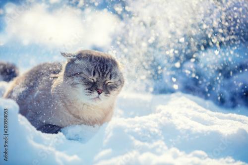 Śliczny Syjamski kota obsiadanie w głębokim śniegu w zimie