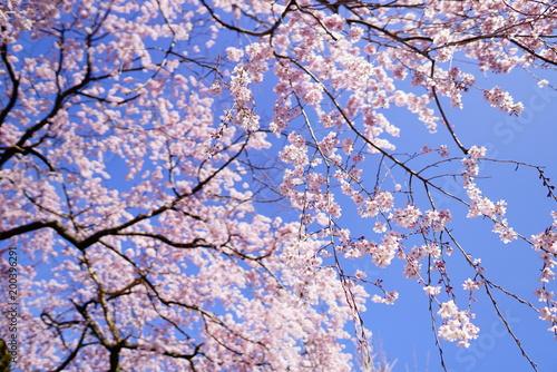 Foto op Plexiglas Lichtroze 京都の桜
