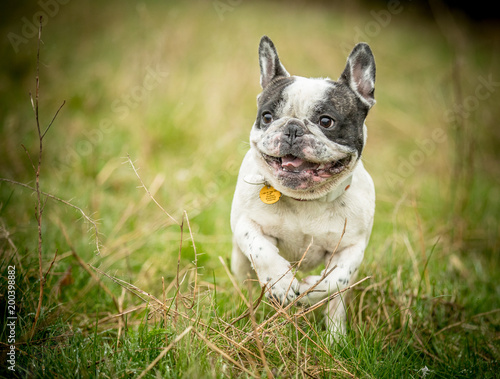 Foto op Plexiglas Franse bulldog The smiling French Bulldog