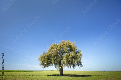 lonely tree under blue sky on the field in spring day in Italy