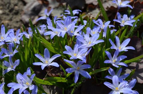 Cebulica syberyjska , Scilla siberica - niebieskie wiosenne kwiatki