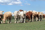 eine Herde Rinder auf der Weide