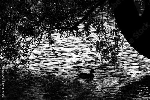 Silhouette of a duck mallard on the water. - 200412880