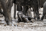 Young elephnat bathing in the mud and protected by the family herd in Etosha National Park in Namibia