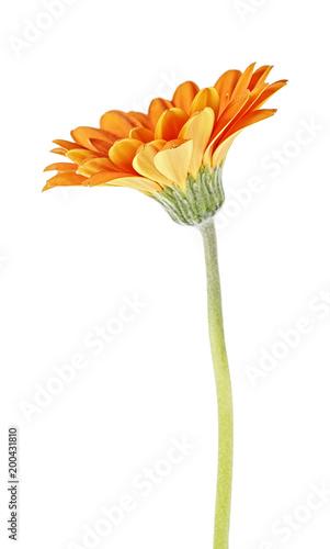 Aluminium Gerbera Orange gerbera flower isolated on white background