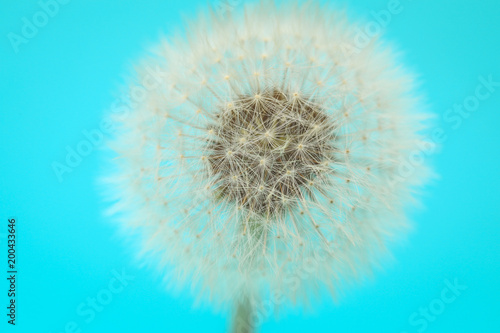 Selective focus on Dandelion seeds on turquoise background