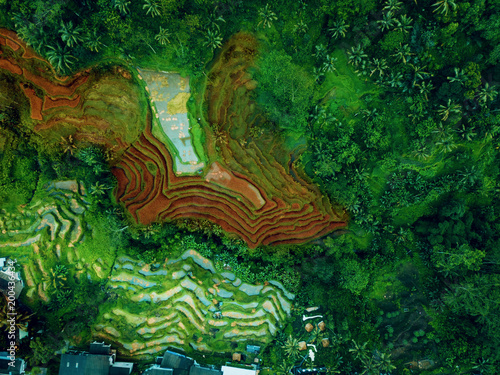 Odgórny widok lub antena strzał świezi zieleni i żółci ryżowi pola. Taras ryżowy na Bali