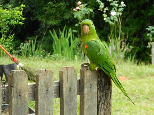 Plexiglas Papegaai BIRD MARITACA
