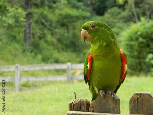 Fotobehang Papegaai BIRD MARITACA
