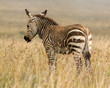 One cape mountaing zebra foal standing in the long autumn grass of the Mountain Zebra National Park in South Africa