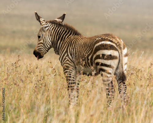 One cape mountaing zebra foal standing in the long autumn grass of the Mountain Zebra National Park in South Africa - 200440862