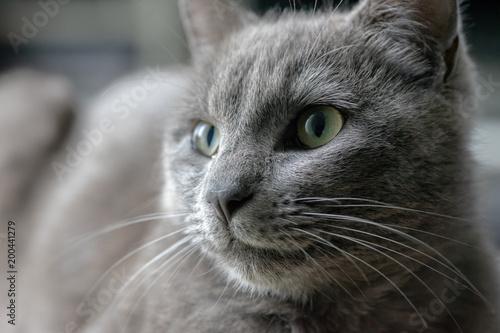 głowa szarego kota o zielonych oczach
