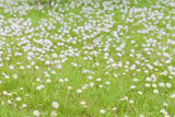 A meadow full of daisies in spring