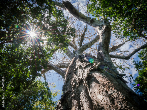 Aluminium Baobab old tree with big stem and sun flare